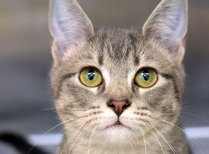 Grey tabby cat looking at camera