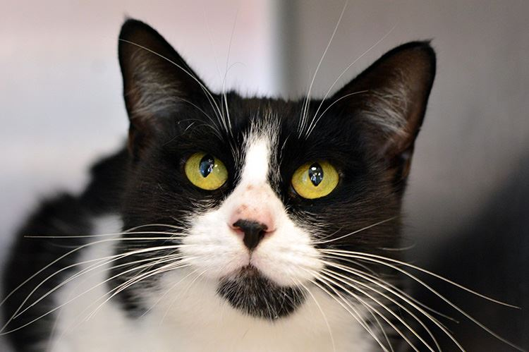 Black and white cat looking at camera in kennel.