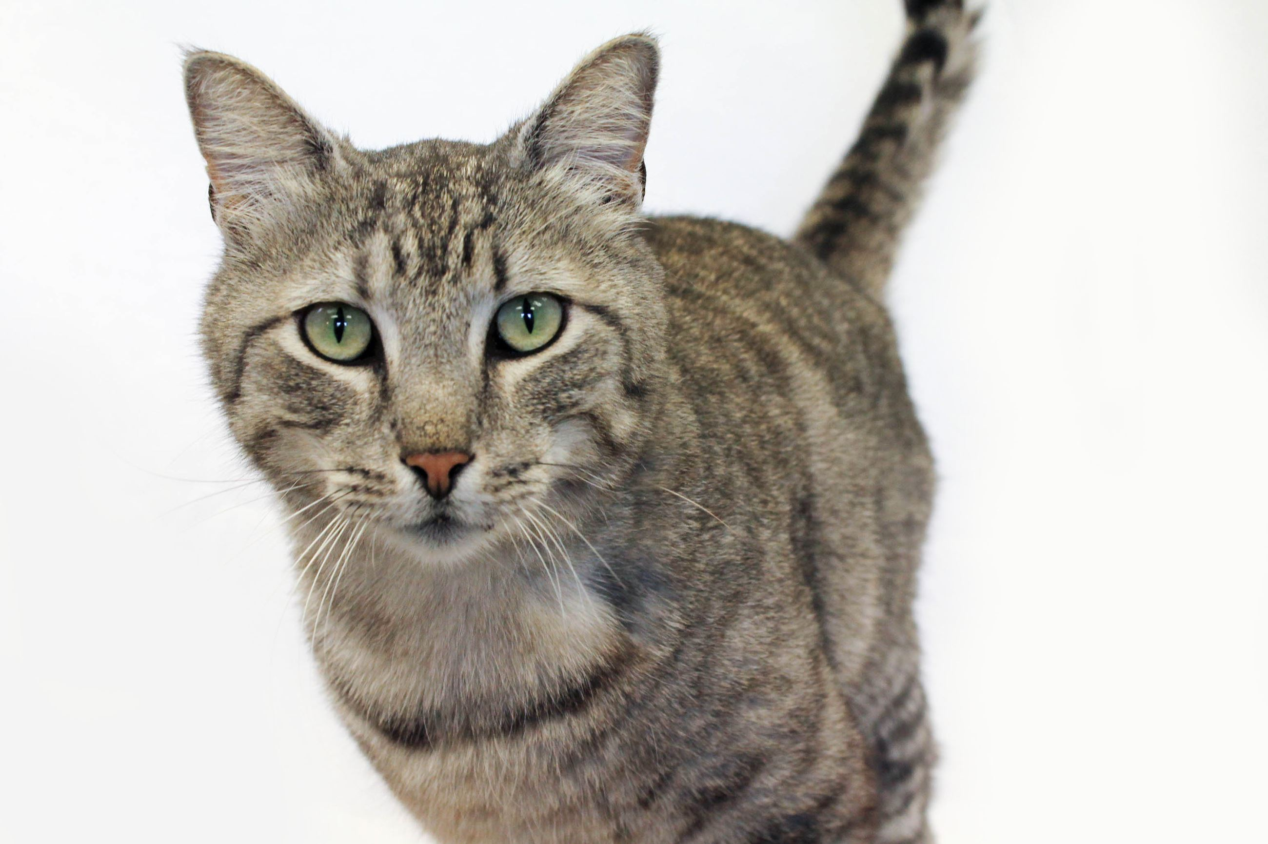 Grey Tabby Cat in front of a White Background
