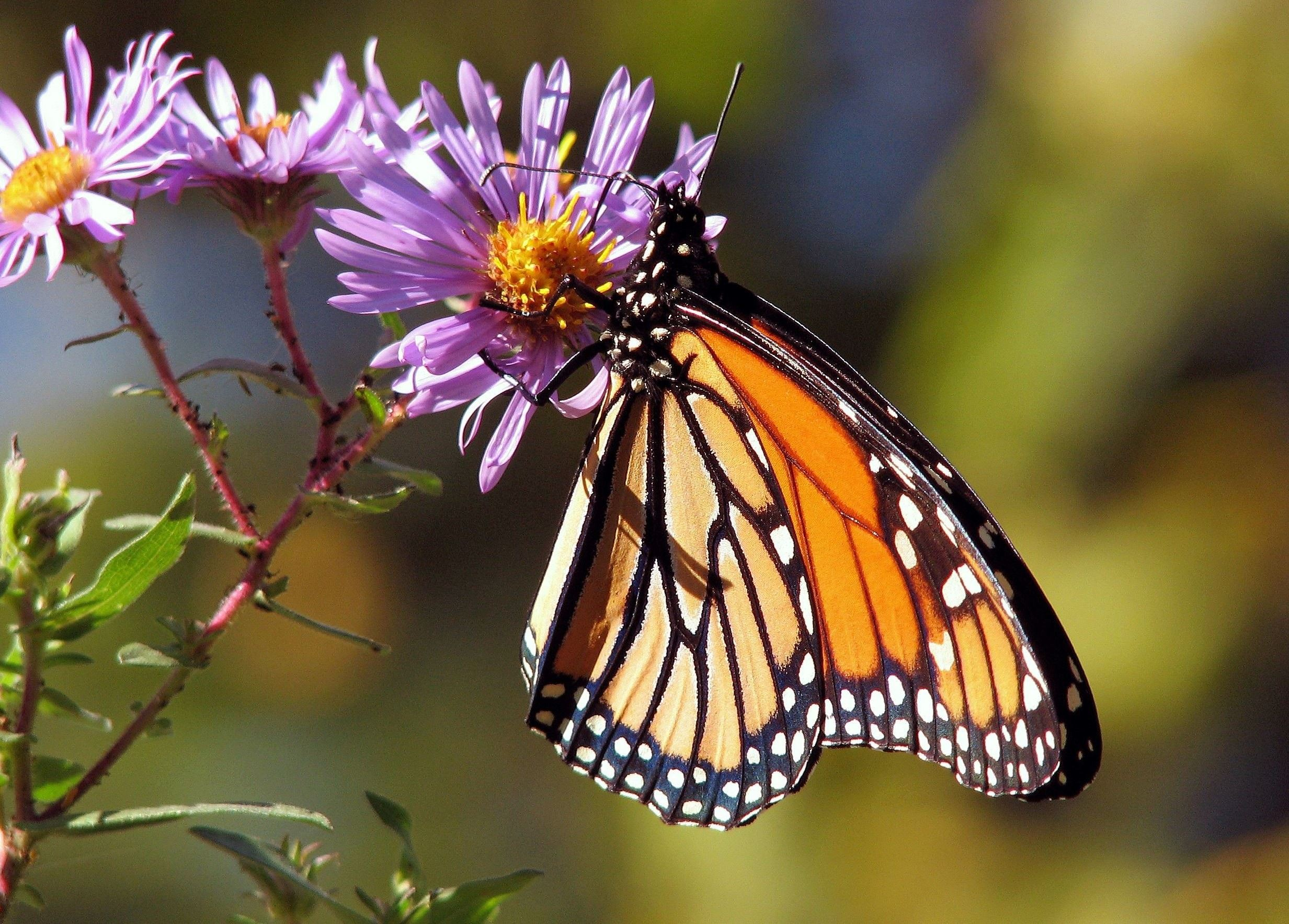 Monarch Butterfly on purple and yellow native flowering plant