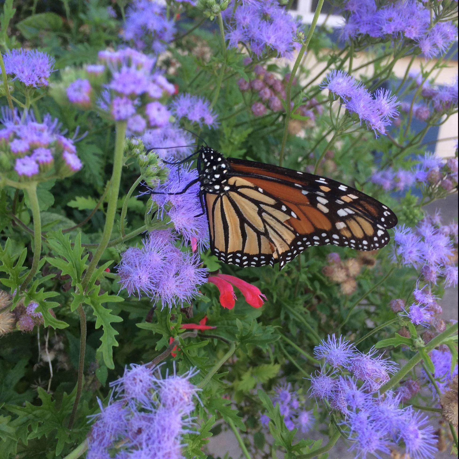 Picture of Monarch Butterfly on Gregg's Mistflower